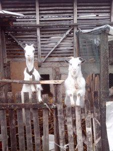 Коза и јарац